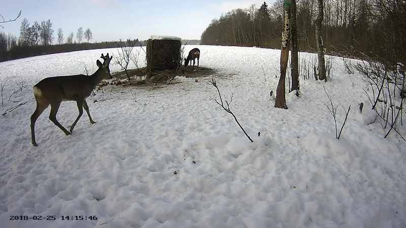 Roe deer cam in Viljandimaa Vlcsna63
