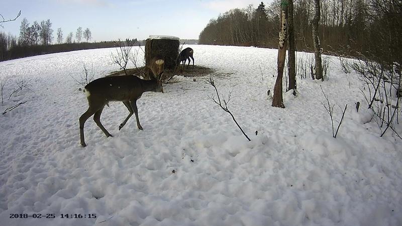 Roe deer cam in Viljandimaa Vlcsna64