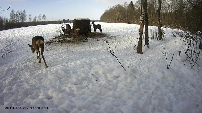Roe deer cam in Viljandimaa Vlcsna66