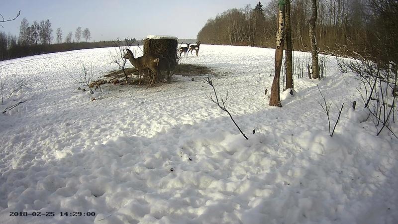 Roe deer cam in Viljandimaa Vlcsna68