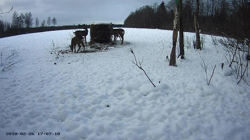 Roe deer cam in Viljandimaa Vlcsna70