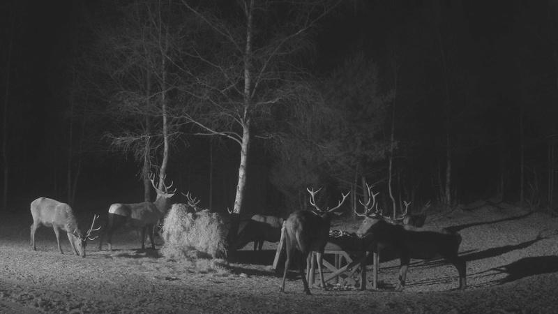 Red Deer Cam (Saarema Island)  - Page 33 Vlcsna77