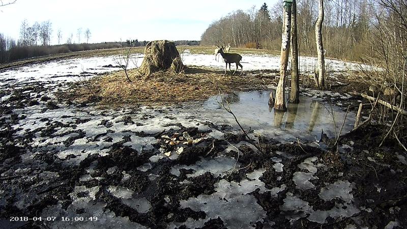 Roe deer cam in Viljandimaa Vlcsna79