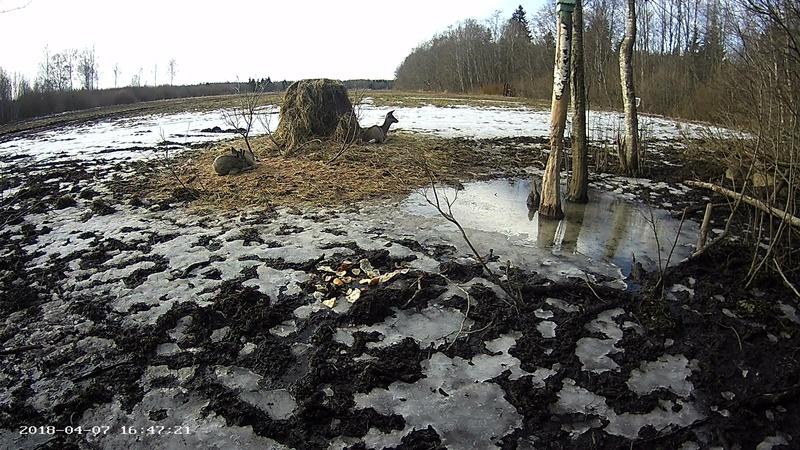 Roe deer cam in Viljandimaa Vlcsna82