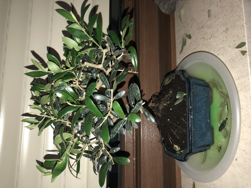 Bonsai Olivo 7 años caen la hojas 9d749410