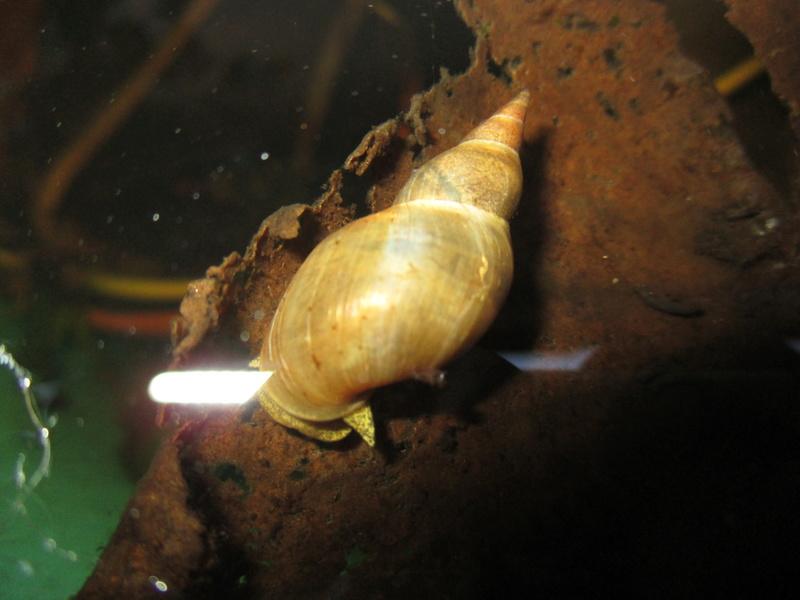 Des... escargots... géants... et leur terrarium tropical - Page 3 Baveux10