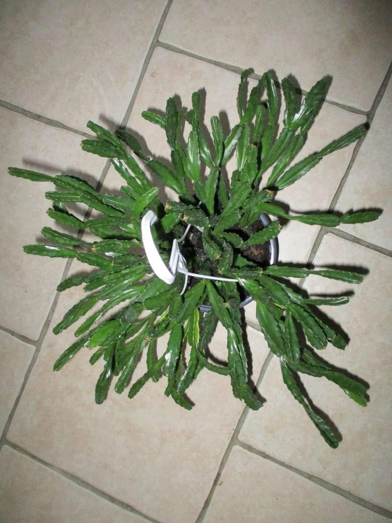 Schlumbergera x exotica Clivia10