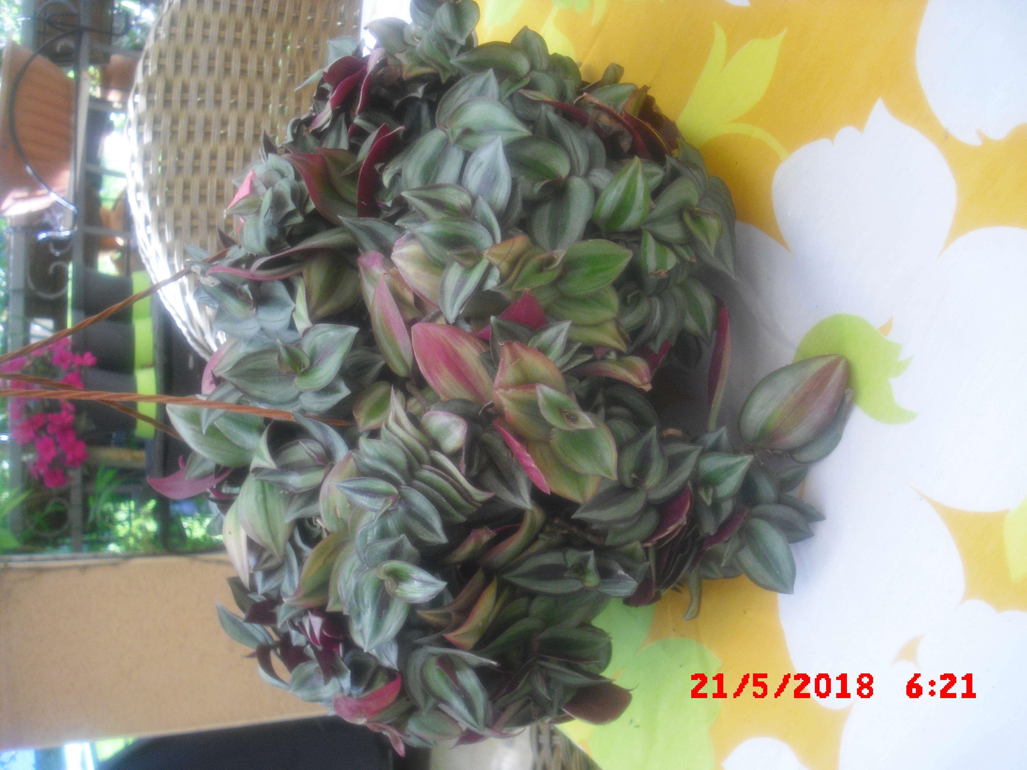 trandescantia Cimg0113