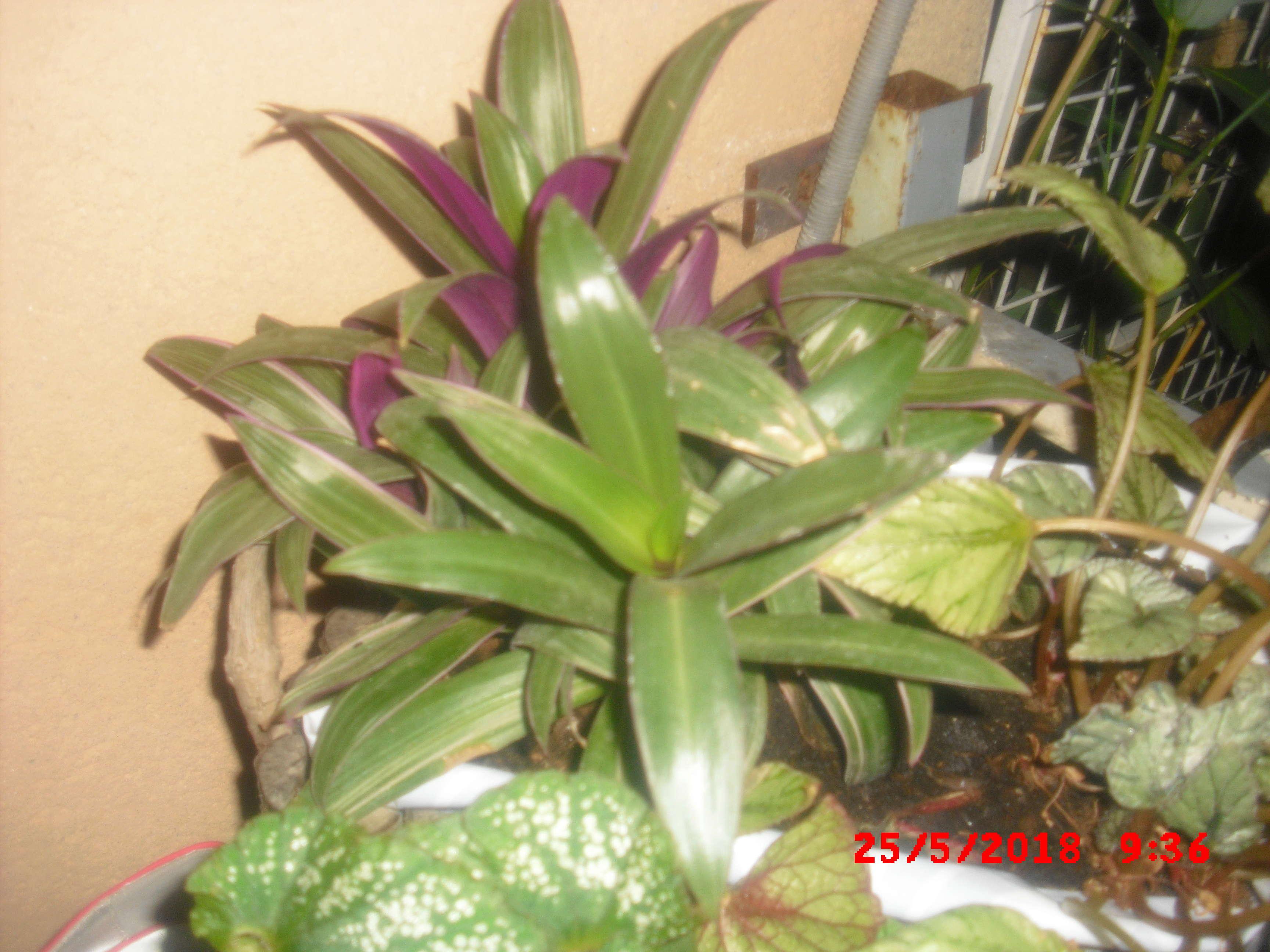 trandescantia Cimg0116