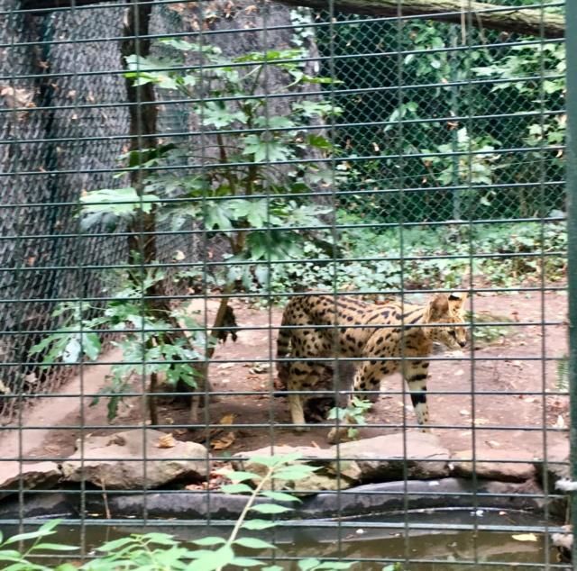 Les tigres blancs? Snob?  45f9f510