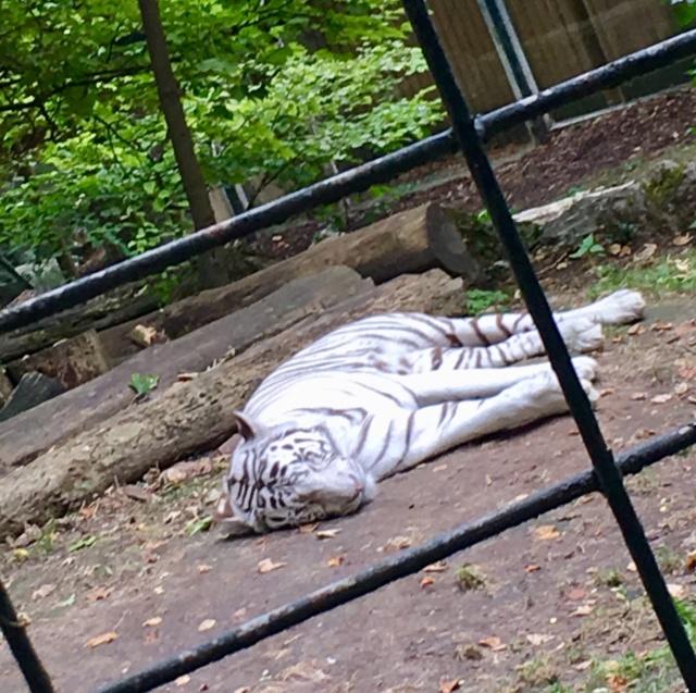 Les tigres blancs? Snob?  78916910