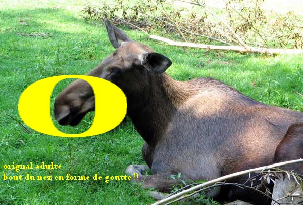 sondage pour chasse a l'orignal - Page 3 Origna10