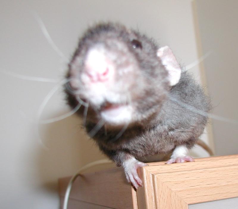 [URGENT] rat dumbo noir (69) P110