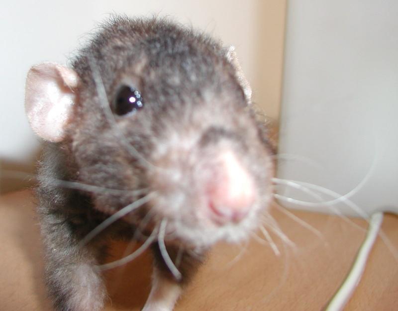 [URGENT] rat dumbo noir (69) P210