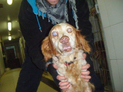 Arnold épagneul breton aveugle de 13 ans Saint-Omer (62) Arnold10