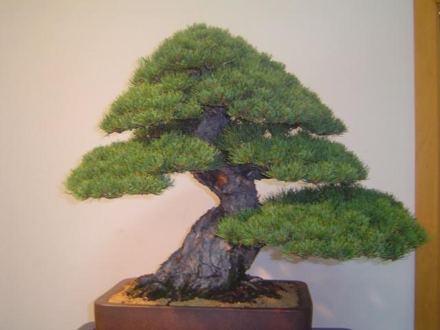 exposicion de bonsai de paterna Dsc05415