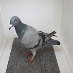 Viewing profile - pigeonboy52 Syndic11