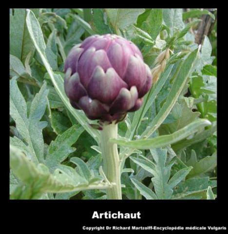 Coeur d'artichaut Artich13