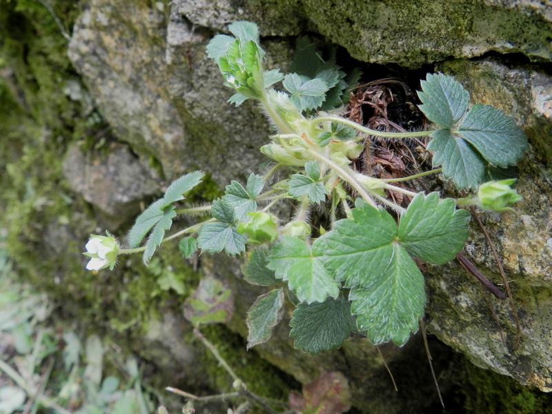 Le Rubricaire (fort romain en Nord-Mayenne) et la botanique Vauvyr62