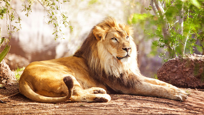 animal totem Lion-a10