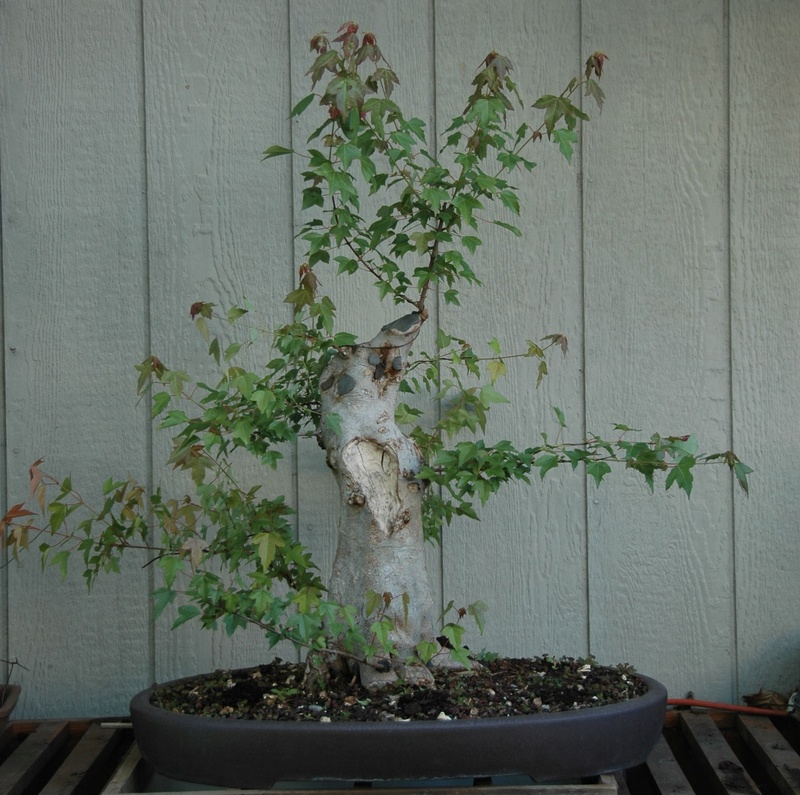 Trident Maple New Front? Lg_tri10