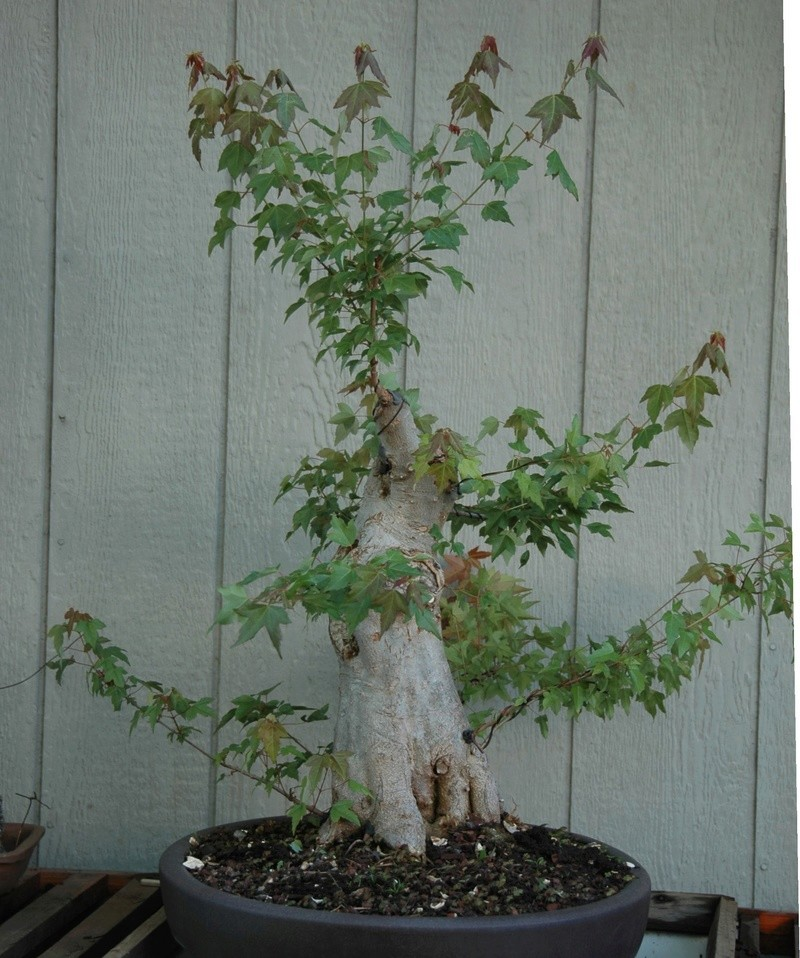 Trident Maple New Front? Lg_tri11