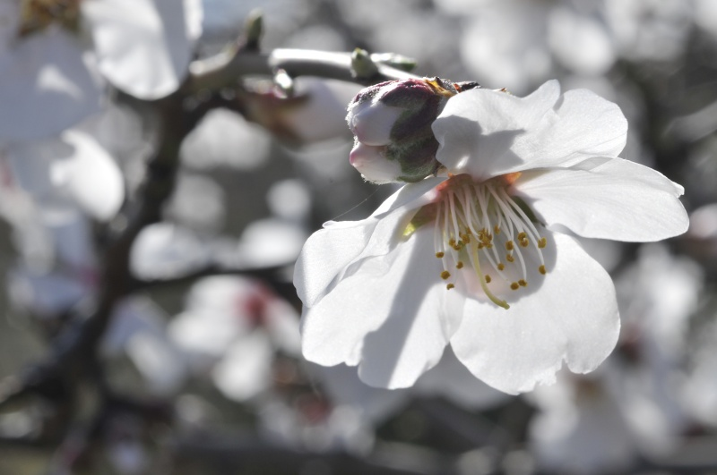 Fleurs d'amandier _dsc8916