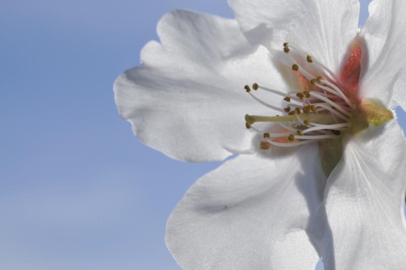 Fleurs d'amandier _dsc8917