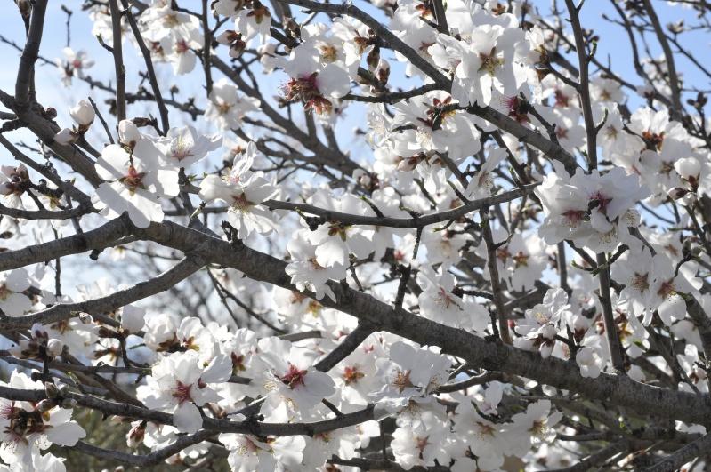 Fleurs d'amandier _dsc8919