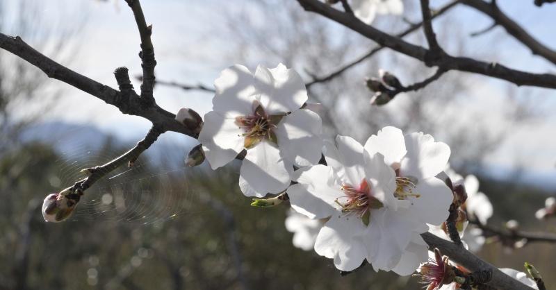 Fleurs d'amandier _dsc8920