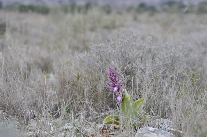 Himantoglossum robertianum (Barlia, Orchis géant ) _dsc9214