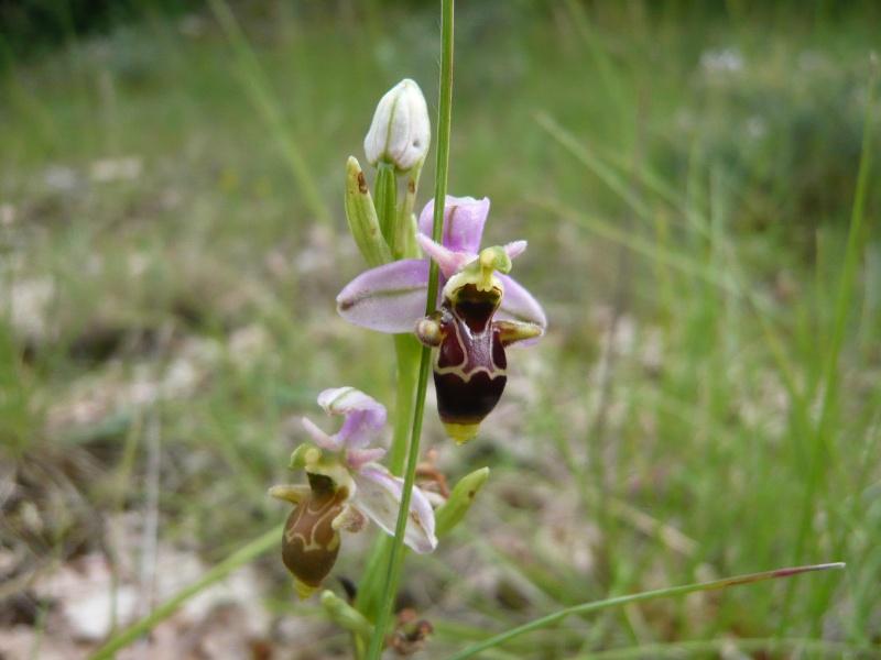 Ophrys picta dans l'aveyron L1140111