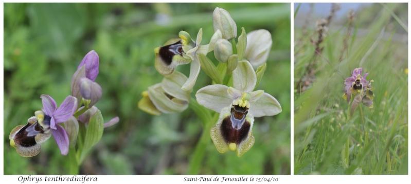 Ophrys tenthredinifera ( Ophrys guêpe ) Ophrys21