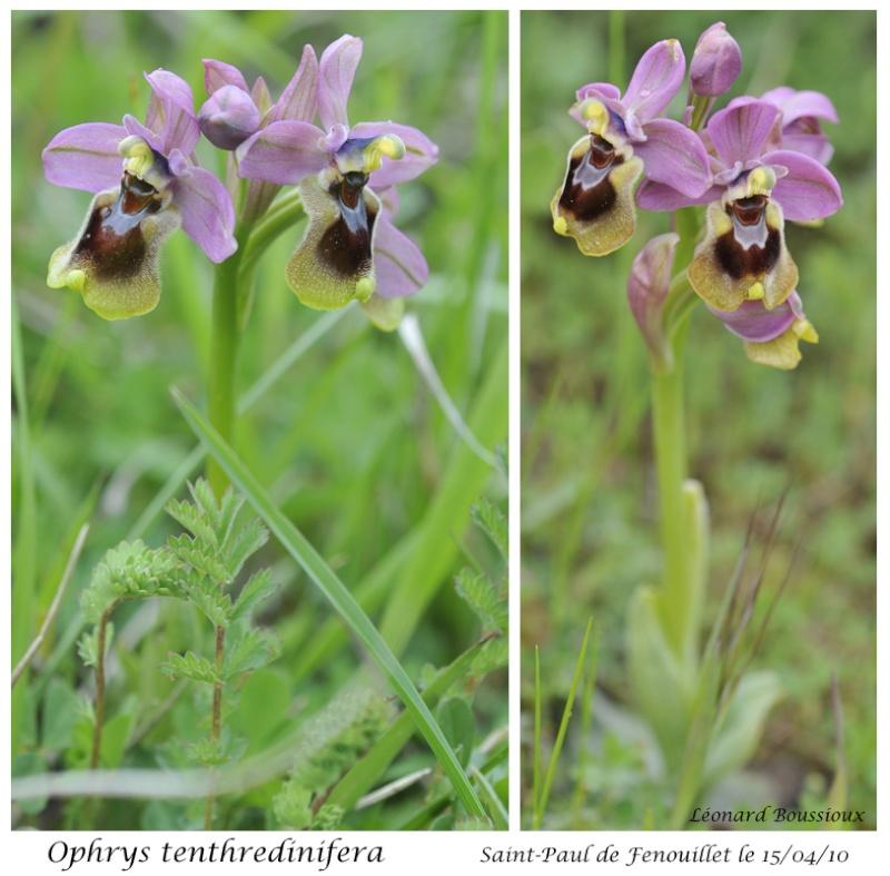 Ophrys tenthredinifera ( Ophrys guêpe ) Ophrys22
