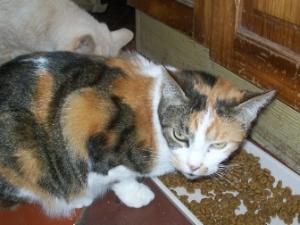 Moussette jeune chatte tricolore Ecole du Chat région de Clermont. Image_11