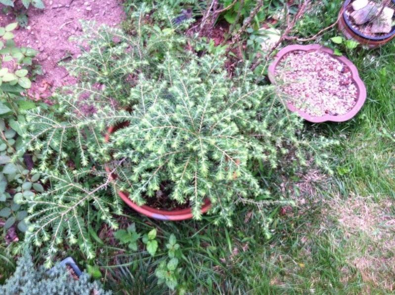"Tsuga, hemlock or ""extending growth,"" type, clip and grow strategies? Hemloc11"
