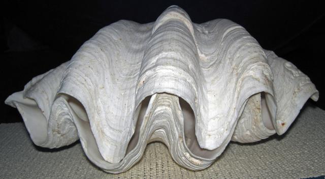 Perles de Tridacna  Afeb2010