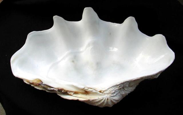 Perles de Tridacna  Cfa3e610