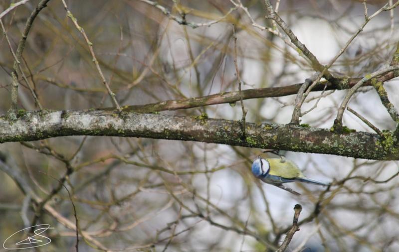 Mésange bleue 19ad6b10
