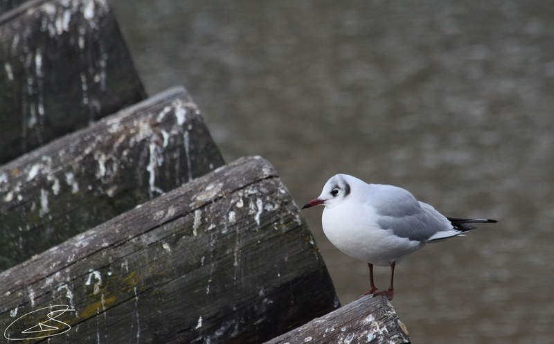 Mouette rieuse 9b431010