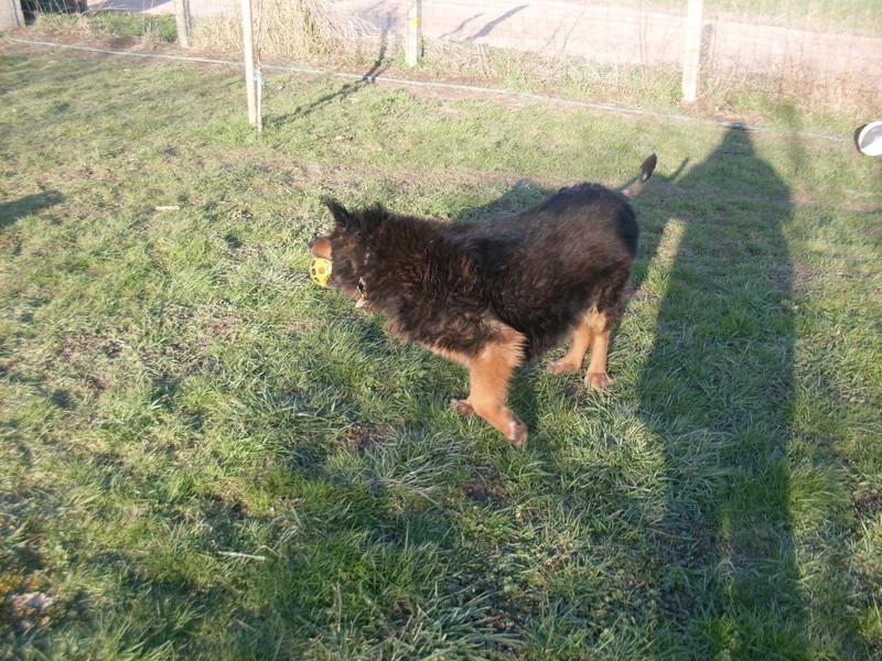ORGANZA, femelle croisée berger allemand âgée taille moyenne née environ 2002 (Pascani)- REMEMBER ME LAND - En FALD chez lakota03 (03)-Decedee - Page 7 Lupa_b10