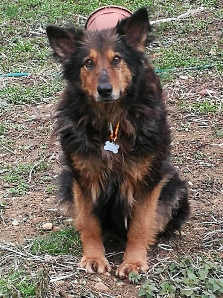 ORGANZA, femelle croisée berger allemand âgée taille moyenne née environ 2002 (Pascani)- REMEMBER ME LAND - En FALD chez lakota03 (03)-Decedee - Page 7 Lupa_n10