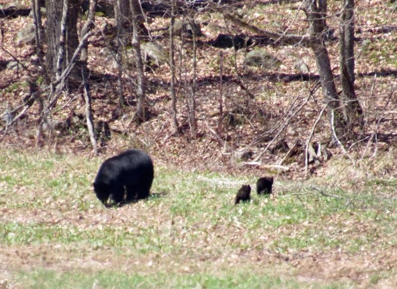 Maman ourse et ses petits 94a75610
