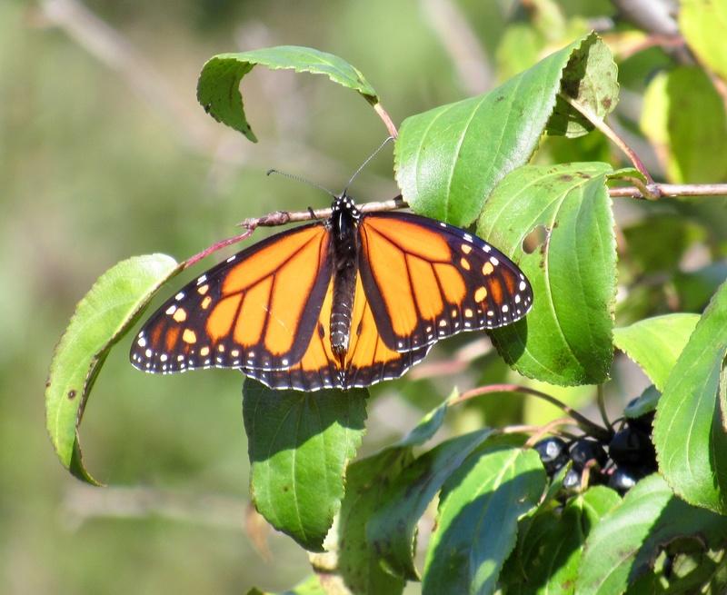Papillon monarque A8df0710