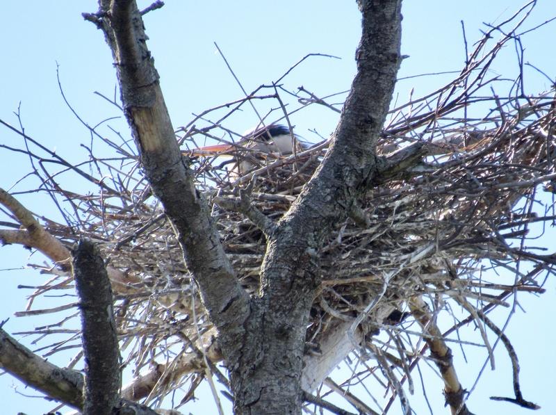 Hérons au nid Adce8211