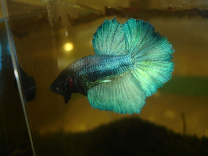 repro du 19 juillet femelle drygamxmale hm turquoise Betta_12