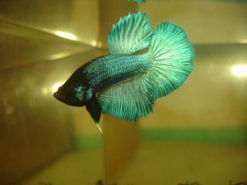 repro du 19 juillet femelle drygamxmale hm turquoise Betta_13