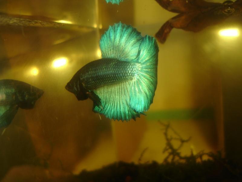 repro du 19 juillet femelle drygamxmale hm turquoise Betta_17