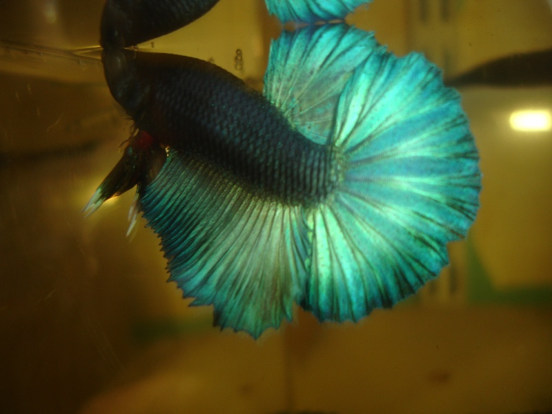 repro du 19 juillet femelle drygamxmale hm turquoise Betta_18