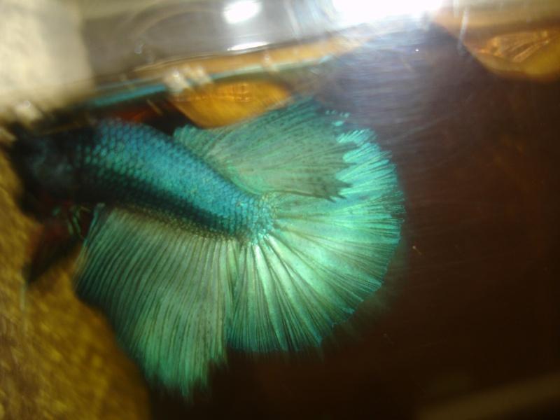 repro du 19 juillet femelle drygamxmale hm turquoise Betta_19